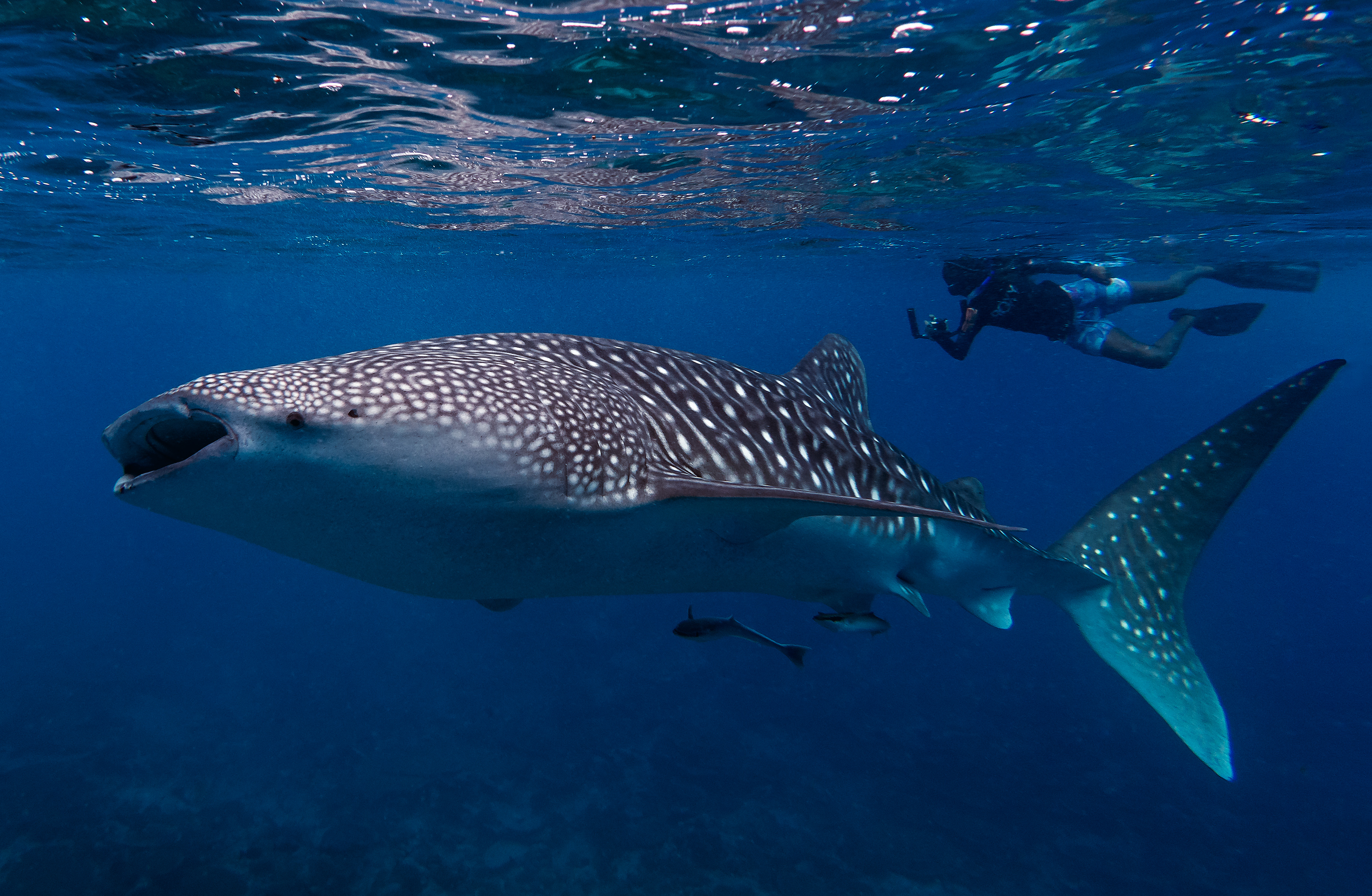 Volunteer Overview Maldives Whale Shark Research Programme